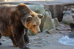 Brown bear in aviary. The adult male brown bear in a city zoo aviary royalty free stock photo