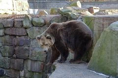 Brown bear in aviary. The adult male brown bear in a city zoo aviary royalty free stock image