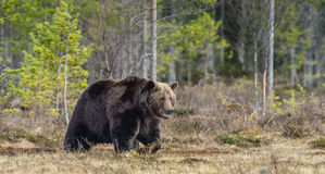 Adult male of Brown Bear Ursus arctos on the swamp in spring. Forest Royalty Free Stock Photography