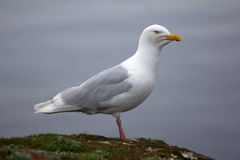 Adult male Burgomaster gull Larus hyperboreus in Arctic Stock Image