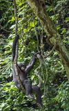 Adult male of Chimpanzee bonobo ( Pan paniscus) on tree branches.  Green forest  natural background. Democratic Republic of Congo.   Africa Royalty Free Stock Photos