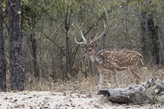 Adult male Chital or spotted deer walking on the edge of the for. Est on a winter day Stock Photo