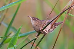 Adult male Common grasshopper warbler sits deep in grass royalty free stock image
