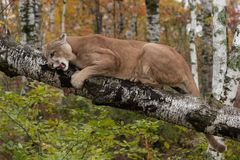 Adult Male Cougar Puma concolor on Birch Branch Snarls Down Royalty Free Stock Photography