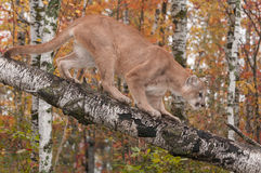 Adult Male Cougar (Puma concolor) Climbs Down Branch Stock Photography