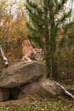 Adult Male Cougar (Puma concolor) Crouches on Rock Stock Image