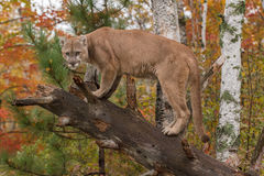 Adult Male Cougar (Puma concolor) Glares from Downed Tree Stock Images