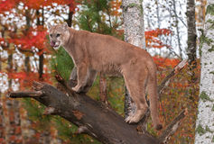 Adult Male Cougar (Puma concolor) Licks Nose Stock Photo