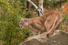 Adult Male Cougar (Puma concolor) Looks Left Behind Rock Royalty Free Stock Image