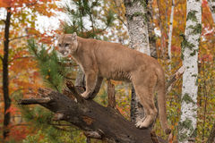 Adult Male Cougar (Puma concolor) Looks Out from Branch Royalty Free Stock Photo