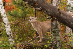 Adult Male Cougar (Puma concolor) Looks Up Royalty Free Stock Photos