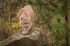 Adult Male Cougar Puma concolor Paw Forward on Rock Royalty Free Stock Images
