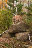 Adult Male Cougar (Puma concolor) Preps to Come Down from Rock Royalty Free Stock Photos