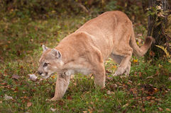 Adult Male Cougar Puma concolor Prowls Left Stock Photo