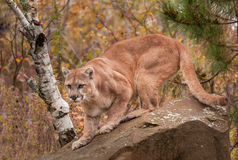 Adult Male Cougar (Puma concolor) Ready to Pounce Royalty Free Stock Photography