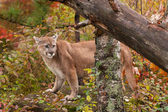 Adult Male Cougar (Puma concolor) on Rock with Ears Back Stock Photos
