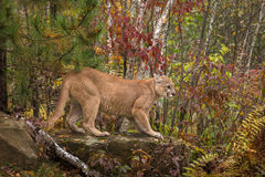 Adult Male Cougar Puma concolor On Rock Ears Back Royalty Free Stock Photo