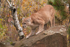 Adult Male Cougar (Puma concolor) Slinks Down Rock Stock Photo