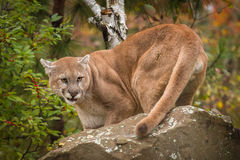 Adult Male Cougar Puma concolor Snarls Behind Rock Royalty Free Stock Images