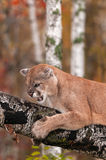 Adult Male Cougar (Puma concolor) Snarls From Branch Royalty Free Stock Photography