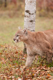 Adult Male Cougar (Puma concolor) Stalks Left Royalty Free Stock Photo
