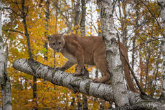 Adult Male Cougar Puma concolor Stands on Birches Stock Images