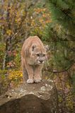 Adult Male Cougar Puma concolor Stares Out From Rock Royalty Free Stock Image