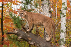 Adult Male Cougar (Puma concolor) Tongue Out stock image