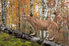 Adult Male Cougar Puma concolor on Tree Looks Away Stock Photo