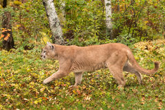 Adult Male Cougar (Puma concolor) Walks Left Royalty Free Stock Photos