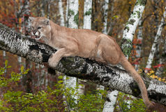 Adult Male Cougar (Puma concolor) Clings to Branch Snarling Stock Photo