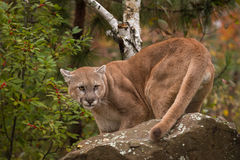 Adult Male Cougar & x28;Puma concolor& x29; Turns Behind Rock Stock Images
