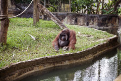 The adult male of the Dominant  orangutan Stock Photography