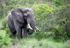 Adult male Elephant  in Botsvana Royalty Free Stock Photo