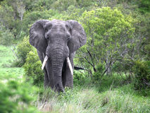 Adult male elephant is in the camera Royalty Free Stock Photo
