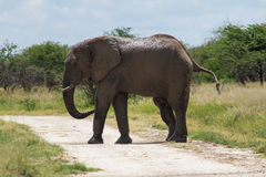 Adult male elephant crossing the road Royalty Free Stock Image