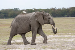 Adult male elephant walking on the African savannah with white bird on back Stock Image