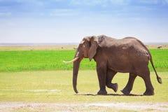Adult male elephant walking at Kenyan savannah. Maasai Mara National Reserve, Africa Stock Images