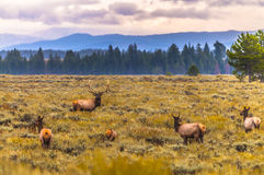 Adult Male Elk and his herd - Grand Tetons Stock Image
