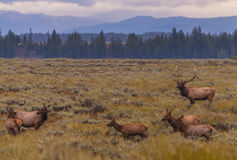 Adult Male Elk and his herd - Grand Tetons Royalty Free Stock Photo