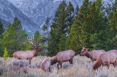 Adult Male Elk and his herd - Grand Tetons Stock Photography