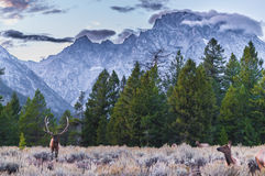 Adult Male Elk and his herd - Grand Tetons Royalty Free Stock Images