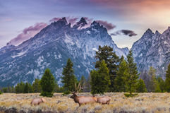 Adult Male Elk and his herd - Grand Tetons Royalty Free Stock Photography