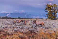 Adult Male Elk and his herd - Grand Tetons Royalty Free Stock Photos