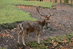 Adult male fallow deer... Netherlands.Park of the city of Den Haag. A fallow-deer male with shovel horns stands not far from the park fence and looks at the stock photos
