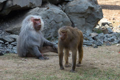 Adult male and female baboon hamadryad Stock Images