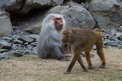Adult male and female baboon hamadryad Royalty Free Stock Photo