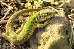 An adult male flat lizard sitting in the sun stock photo
