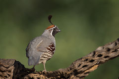 Adult male Gamble's Quail Stock Images
