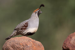 Adult male Gamble's Quail Royalty Free Stock Photo